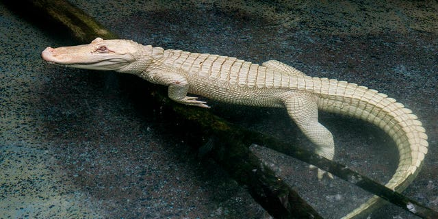 Snowflake, a 16-year-old albino American alligator, arrived at the Brookfield Zoo in Chicago last week.