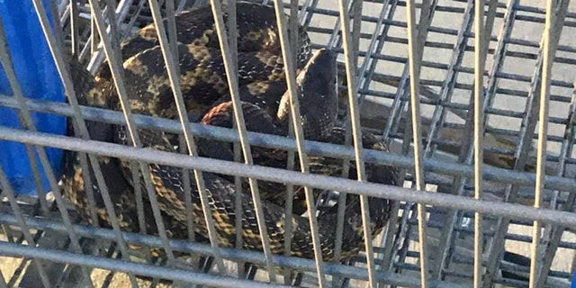 "An officer discovered the large rat snake after hearing a ""loud scream"" in the parking lot of a Walmart in Texas."