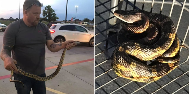 "The one person bit by the large rat snake was a man known as ""The Snake Charmer"" brought in to contain the reptile."