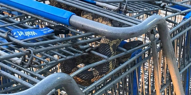 A large ratsnake was discovered in a group of shopping carts at a Walmart in Texas on Friday.