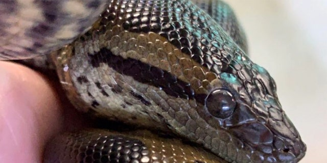 An 8-year-old anaconda at the New England Aquarium gave birth without the help of a male, a rare reproductive process called parthenogenesis. Only two of her litter survived past the first few days.