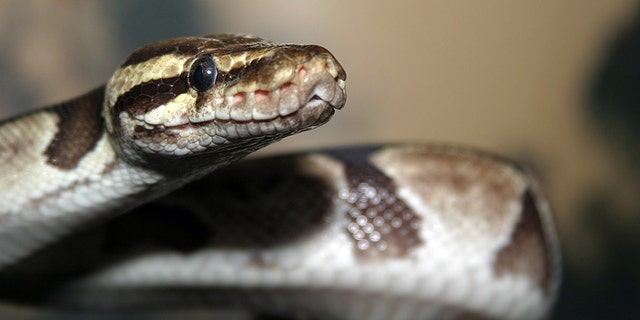 Monty, a ball python like the one pictured above, remains at-large, his owners said. (iStock)