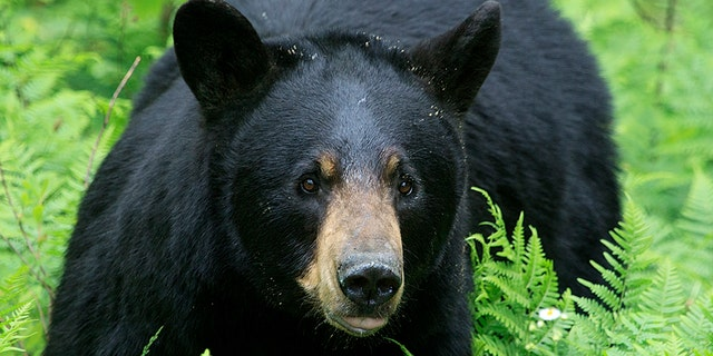 It is illegal to feed bears in New Jersey, according to wildlife officials. (iStock)