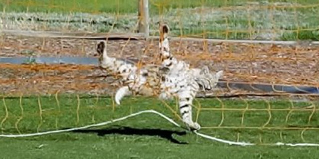 A bobcat who became stuck in a soccer net in a Colorado Springs neighborhood safely escaped, officials said.