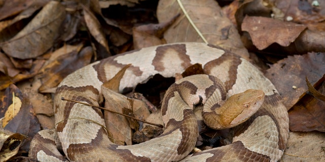 While copper head snakes are poisonous, they usually avoid humans, according to the Pennsylvania Fish and Boat Commission. (iStock)