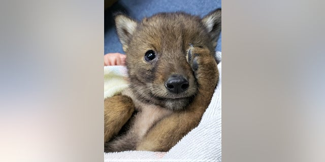 Officials said that the pup was spotted on the edge of a busy parkway and the mother was nowhere to be found.