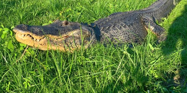 An 11-foot-6-inch alligator was spotted strolling down a street in Ocala, Fla., over the weekend, police said.