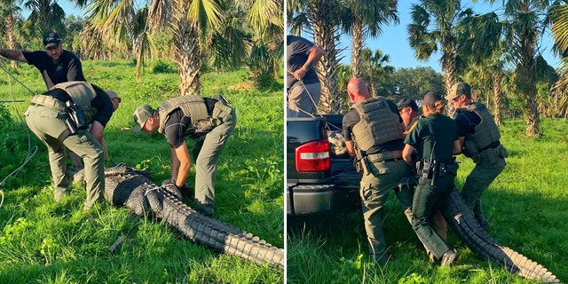 The FWC captured the gator and relocated it to a secluded area, police said.