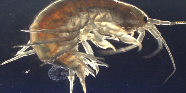 Shrimp caught in United Kingdom  rivers test positive for cocaine and ketamine