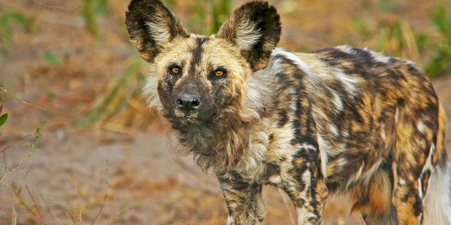 Only about 6,000 African wild dogs, also calledAfrican wild dog or Cape hunting dog, remain in the wild,according to the African Wildlife Foundation.