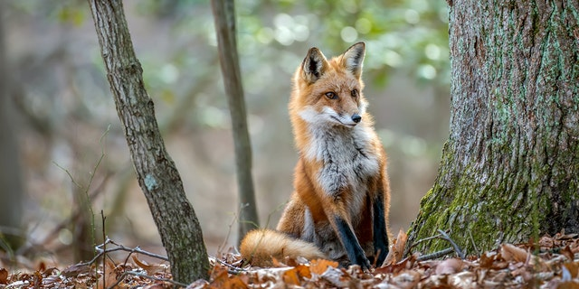 The fox (not pictured) was killed with a shovel, authorities said.