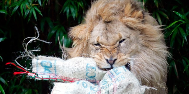 """Zoo staff remembered Jahiri as a """"charismatic"""" lion and """"ambassador of his species."""" (AP File)"""