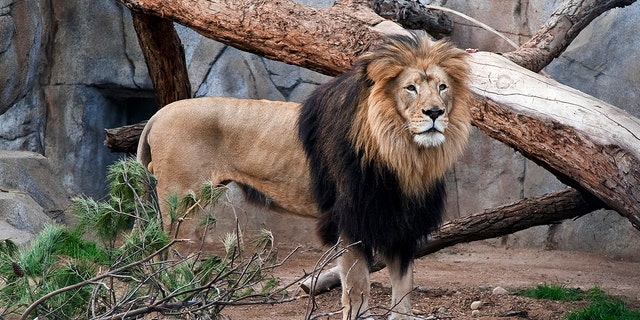 "Zoo staff remembered M'bari as a ""majestic"" lion often seen lounging with his mate in their habitat. (AP File)"