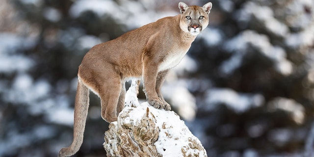 Colorado Parks and Wildlife advises residents in mountain lion country to avoid walking pets between dusk and dawn, keep pets leashed and to not leave them unattended.