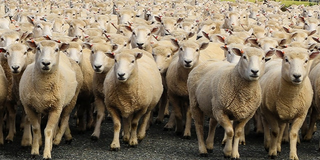 A farmer in France has enrolled 15 of his sheep to save classes at a primary school that were at risk of being cancelled.