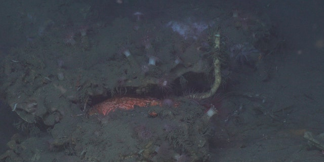 A tubeworm growing from under a carbonate outcrop surrounded by anemones and fish.