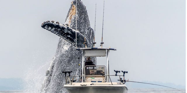 Taken by photographer Douglas Croft, 60, the photo shows the whale shooting up through the waves close to a boat with an unsuspecting fisherman in before it crashes back down.(Credit:Douglas Croft/Caters News)