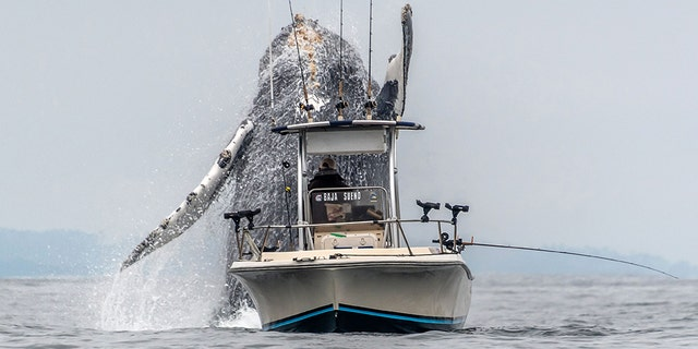 An incredible video and set of images shows the moment a humpback whale bursts through the calm sea, close to an unsuspecting fisherman. (Credit:Douglas Croft/Caters News)