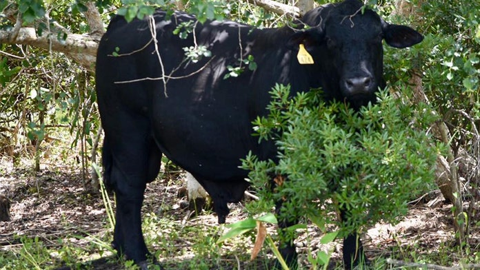 Large Brangus bull found wandering golf course in Florida