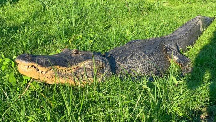 Giant Alligator Spotted Walking Down Florida Street Never A Dull Moment Fox News