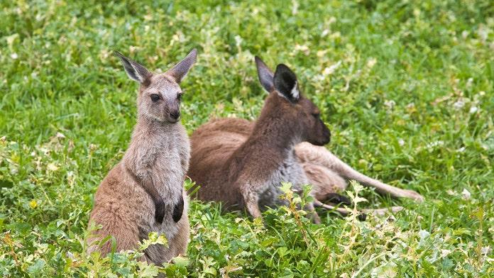Baby kangaroo dies after escaping truck at Arkansas military base