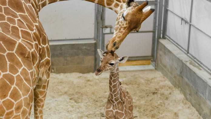 Florida zoo says baby giraffe's birth a 'touching tribute' to late father