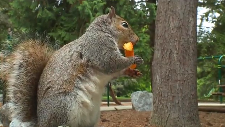 Cheetos-loving squirrel hangs out at Seattle playground