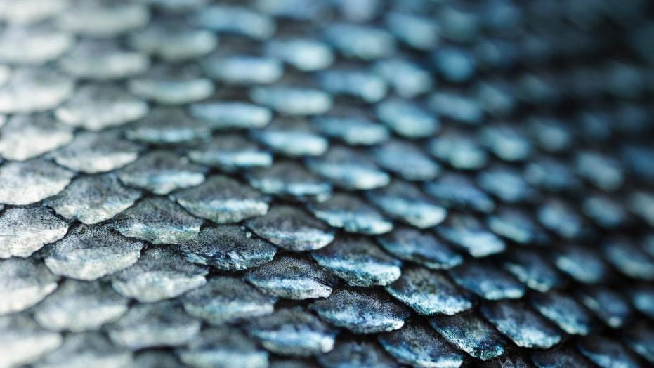 Fish mucus shows promise as antibiotic, even against