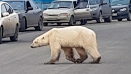 Emaciated polar bear spotted in Russian city, far from usual habitat