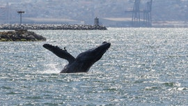 Humpback whale swimming in San Francisco Bay has experts worried