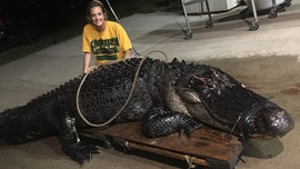 Florida trapper removes huge alligator found wandering on highway: 'That was a pretty big one'