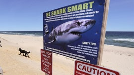 Cape Cod researchers to track, place video cameras on great white sharks in bid to keep beachgoers safe
