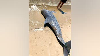 Hundreds of dolphins stranded, wash up dead along US Gulf Coast, officials say