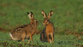 Alaska officials warn hares could spread deadly disease to people, pets