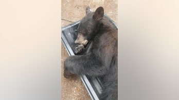 Black bear finds its way inside Montana home: 'He was tired and climbed up into the closet for a nap'