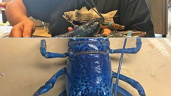 Rare blue lobster heading to aquarium, spared by Massachusetts seafood restaurant