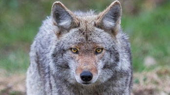 2 coyotes captured, euthanized amid search for animal that attacked California man, 91
