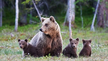 Bow hunters survive grizzly attack after surprising mama bear and cubs