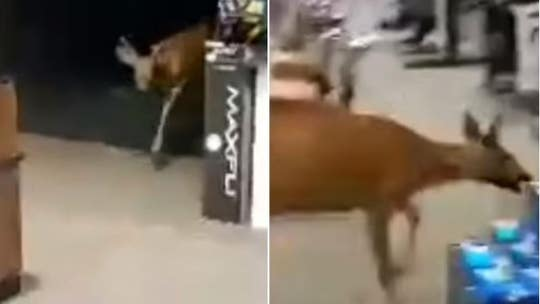 WATCH: Deer runs wild through New York sporting goods store
