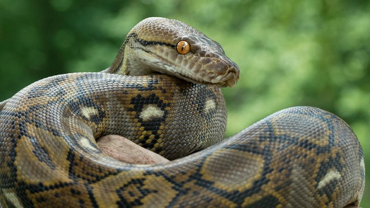 200-pound Florida python named 'Ginormica' could reach world-record size, zoo official says