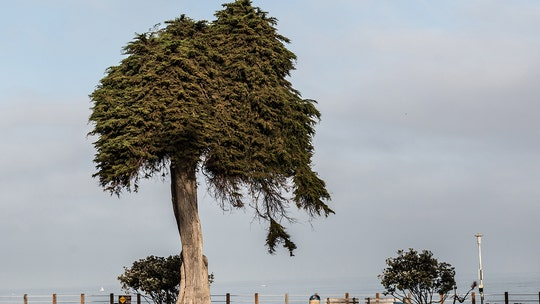 California 'Lorax' tree thought to have inspired Dr. Seuss mysteriously falls