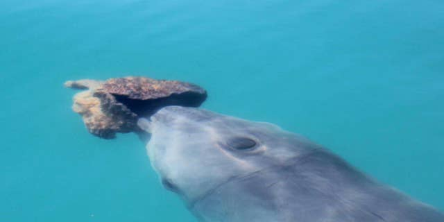 A bottlenose dolphin with a consume in Shark Bay.