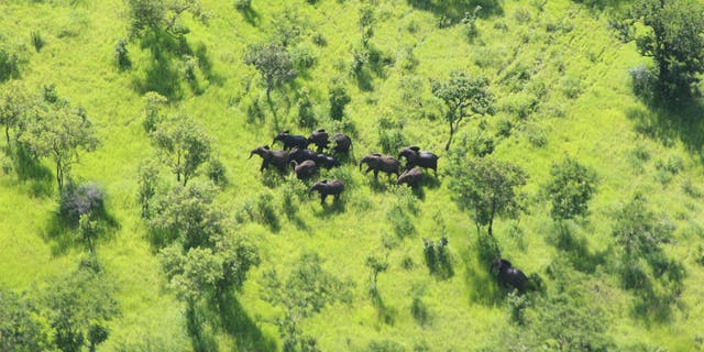 The New York-based Wildlife Conservation Society (WCS) has announced that not a single elephant has been poached in the last year in Mozambique's Niassa Reserve.