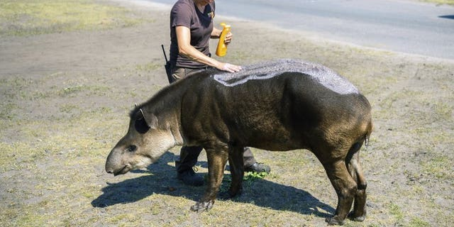 An animal keeper puts suntan lotion on a lowland tapir during the hot summer weather in an animal park in Hodenhagen, Germany, Wednesday, June 26, 2019. Germany faces a heatwave with high temperatures and UV radiation.