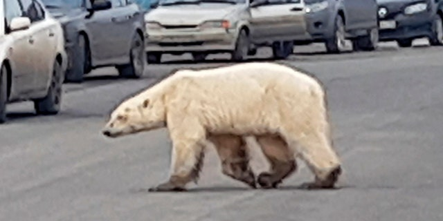 This image taken from video released by @putoranatour/Oleg Krashevsky on Monday, June 17, 2019, shows a polar bear crossing a road in Norilsk, Russia.