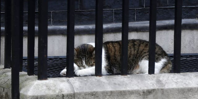 Larry, the 10 Downing Street cat and Chief Mouser to the Cabinet Office sleeps in the street before the arrival of President Donald Trump in central London, Tuesday, June 4, 2019.