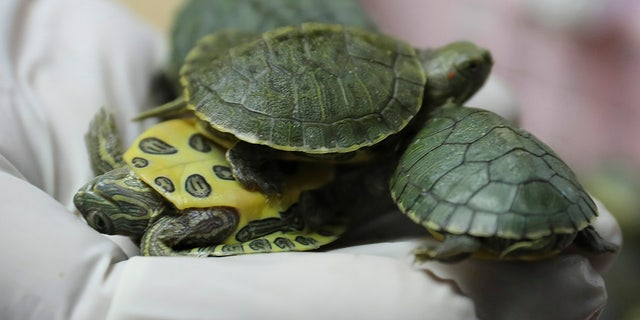 Customs officials display seized turtles at the customs office Wednesday, June 26, 2019, in Sepang, Malaysia. Two Indian citizens were arrested due to smuggling attempt into the country on a flight from Guangzhou, China with thirty-two small boxes packed with 5,225 red-eared slider turtles. (AP Photo/Vincent Thian)