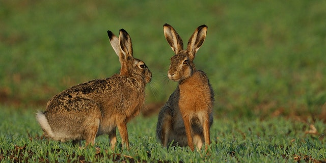 Hares have been known to spread the potentially deadly disease.