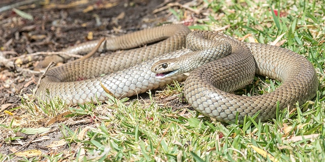 Eastern brown snakes are the second most toxic snakes in the world, Live Science reported, citing Australia's Billabong Sanctuary. (iStock)