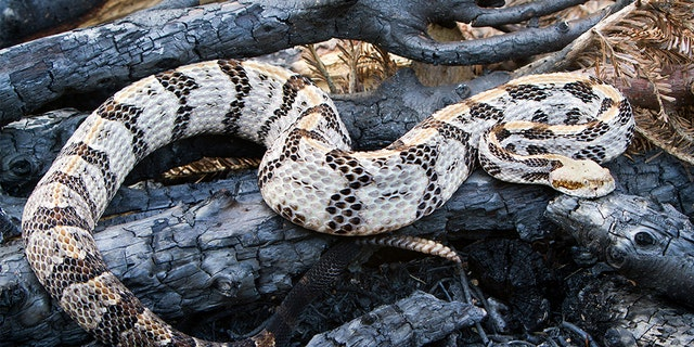 A rattlesnake caught an Alabama police officer by surprise earlier this week. (iStock)